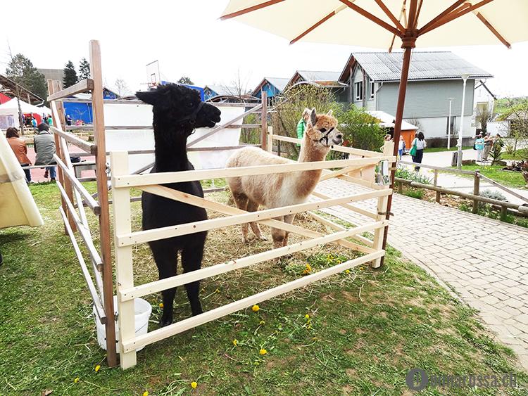 backnang 2015 - alpacas